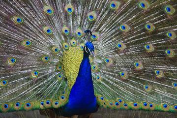 Closeup of beautiful peacock