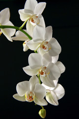 Orchid white on a black background