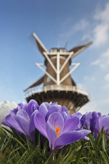 Traditional windmill with spring crocus in front