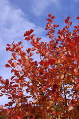 Red  leaves over the sky