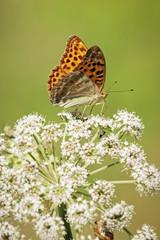 One orange butterfly