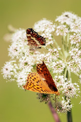 Orange butterflys vertical
