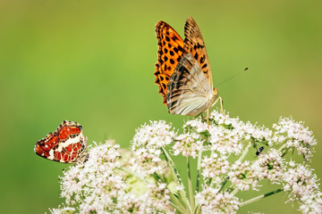 Red and orange butterflies