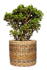 geldbaum (crassula ovata)