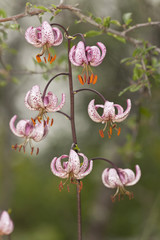 Martagon lily, lilium martagon