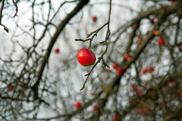 roter apfel im winter
