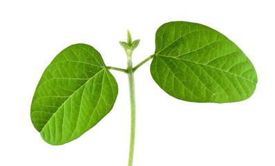 Soybean seedling