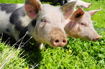 Two pigs on a meadow