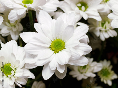White Chrysanthemum Flowers Stock Photo And Royalty Free Images On