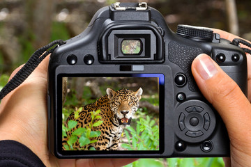 DSLR  camera in hand shooting jaguar in wildlife (my photo)
