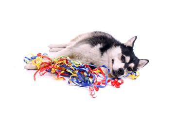Hund Husky freut sich über bunte Bänder