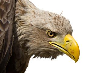 White-tailed eagle (Haliaeetus albicilla) isolated