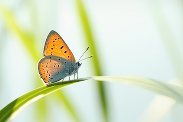 Butterfly (Polyommatus) on a blade of grass against a blue sky