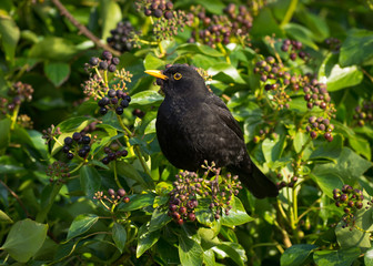 Blackbird on Ivy