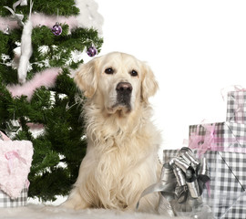 Golden Retriever, 8 years old, with Christmas gifts