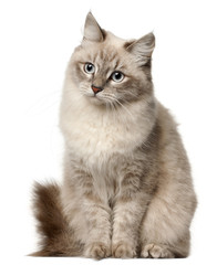 Fototapete - Siberian cat, sitting in front of white background
