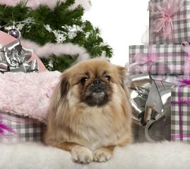 Pekingese, 4 years old, lying with Christmas gifts