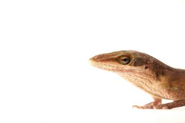 Lizzard Gecko Echse Reptil anoli