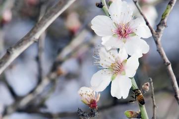 Almond Tree Flowers Closeup