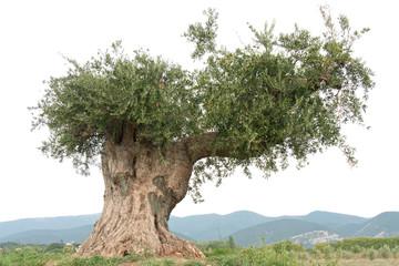 vieil olivier