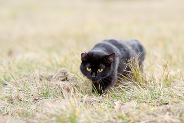 Black cat sneaking in the grass