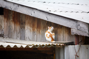 Orange , white cat on the roof