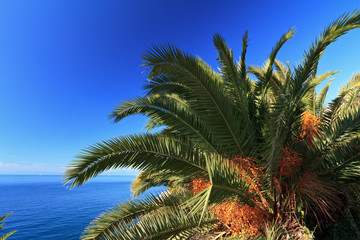 palm over the sea - Phoenix dactylifera