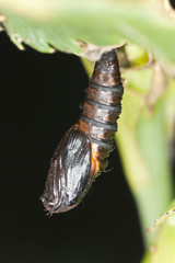 Pupa with moth, macro photo
