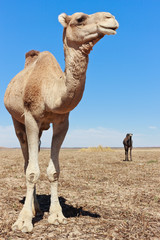 Lone Camel in the Desert with blue sky