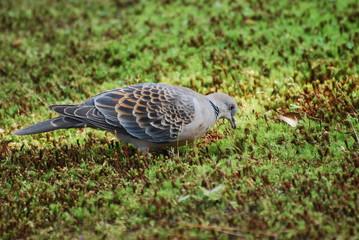 Oriental Turtledove in Japan 2