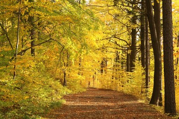 Forest trail surrounded by golden colors of autumn leaves