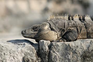Wild iguana portrait
