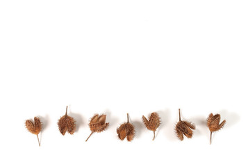Beech husks isolated on white background