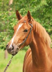 portrait of beautiful chestnut  trakehner mare