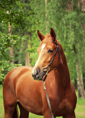 portrait of beautiful red horse at forest background