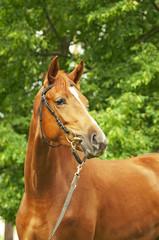 portrait of beautiful chestnut horse