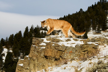 Wall Mural - Mountain Lion