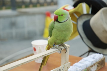 closeup of lucky parrott donwtown in Bucharest, Romania