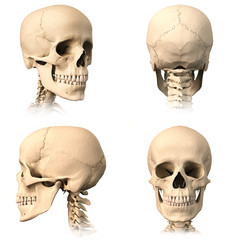 Human skull, four views.