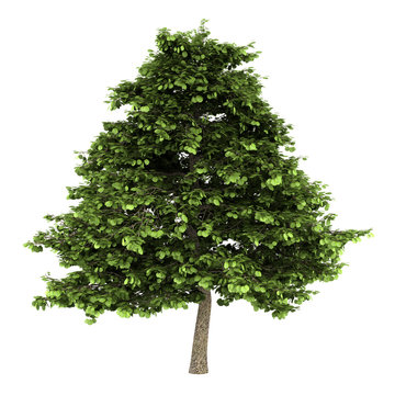 grey alder tree isolated on white background
