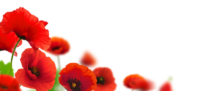 flowers, poppies white background. Environmental