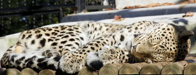 Leopardo che dorme
