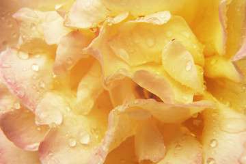 abstract background - yellow rose with water drops