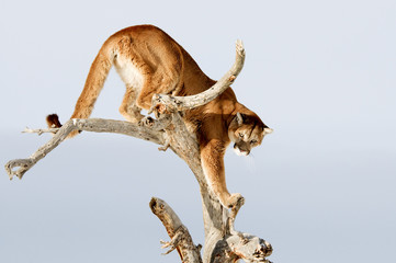 Wall Mural - Mountain Lion in Tree