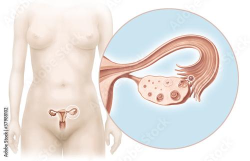 Uterus, Ovarien und Eisprung\