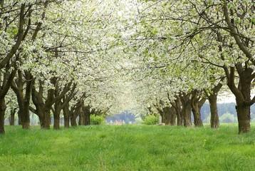 Kwitnący sad wiśniowy