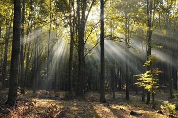 Świt w bukowym lesie. - fototapety na wymiar