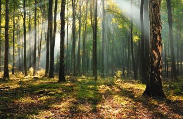 Obraz Świt w bukowym lesie. - fototapety do salonu