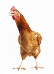 Una gallina cantando en fondo blanco