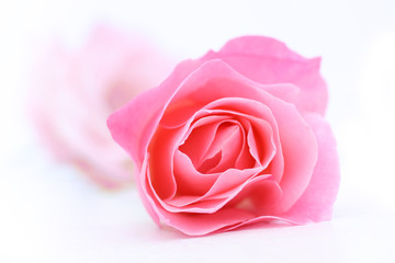 Beautiful pink rose on white close up